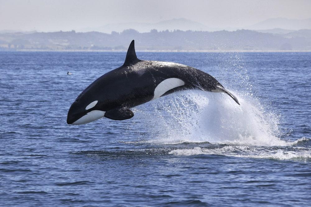 GMAT SC question on killer whale